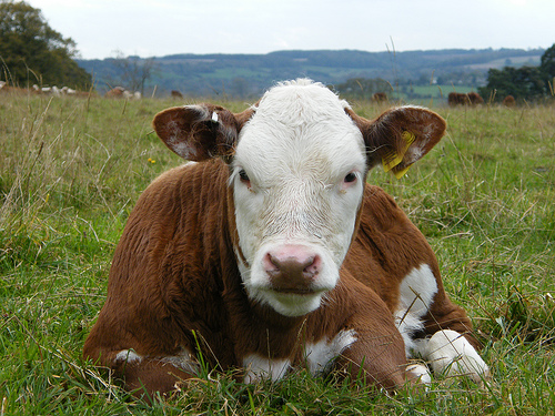 Poem of the Week: The Cow