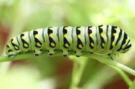 Poem of the Week: Caterpillar